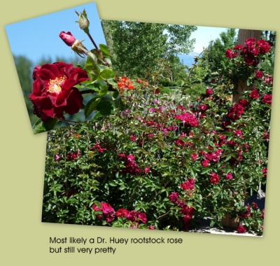 Dr. Huey rootstock rose