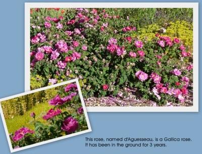 Gallica rose d'Agusseau