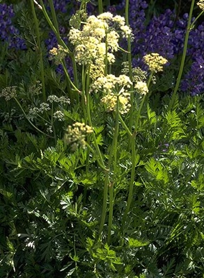 Be careful about those lacy white flowers joansgardens blog although the leaves of lovage ligusticum grayi are edible and taste like celery the seeds make a pleasant spice and the roots are used medicinally mightylinksfo