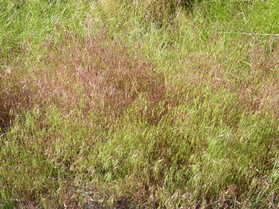 As cheatgrass matures it regains its purple tinge.