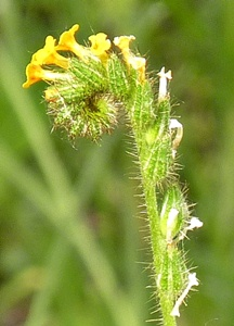"Flower stalk showing the ""fiddleneck"""