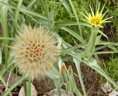 Seed head and flower