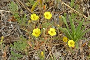 Whitestemmed Stickleaf flowers