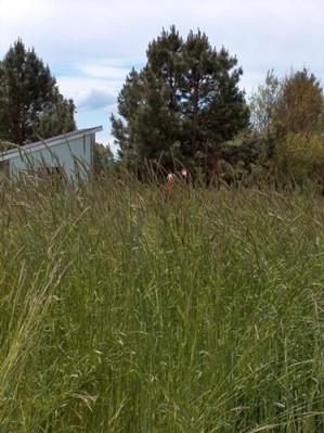 Annual rye grass, taller than me