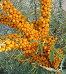 become bright orange berries in late summer-early fall